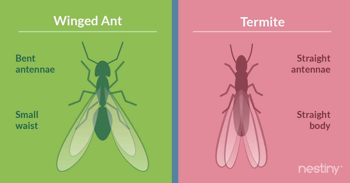 difference between ant and termite